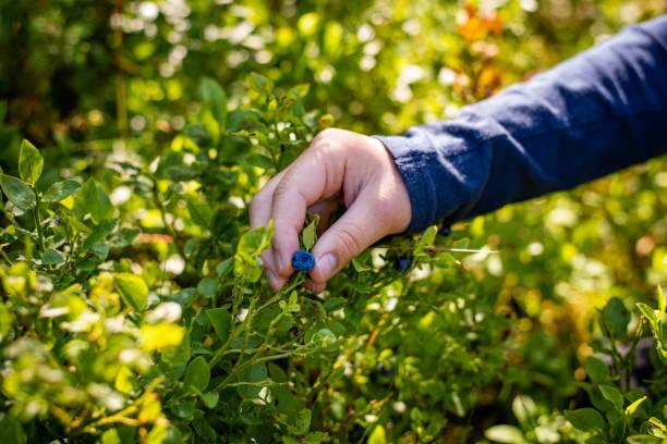 Junge Hand pflücken reife Heidelbeeren aus nächster Nähe – Foto