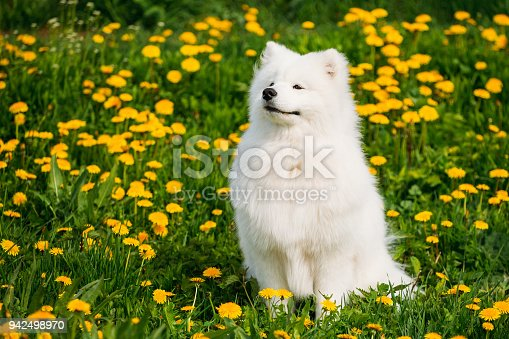 istock Young Happy Smiling White Samoyed Dog Or Bjelkier, Sammy Sit Outdoor In Green Spring Meadow With Yellow Flowers 942498970