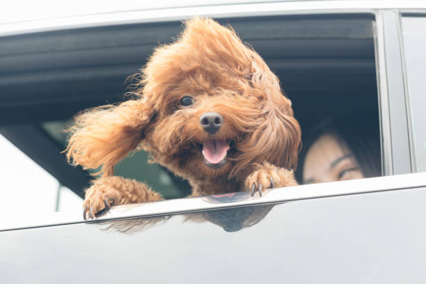 young happy woman with teddy dog seen through car window - asian travel in car stock photos and pictures