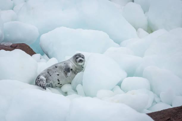 Jeune phoque sur la banquise et des rochers côtiers - Photo