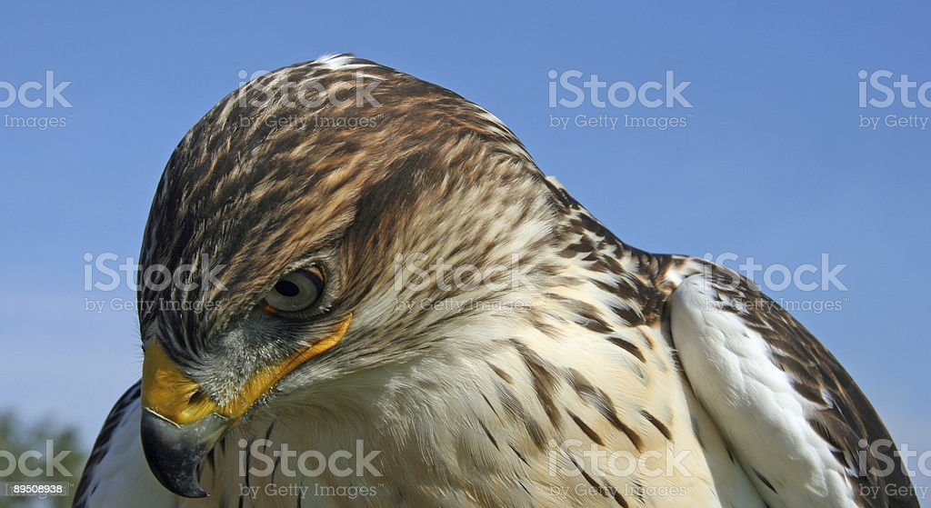Young Hawk royalty-free stock photo