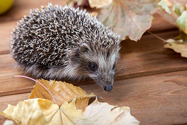 Young hedgehog in autumn leaves Young hedgehog in autumn leaves on the wooden floor bristle animal part stock pictures, royalty-free photos & images
