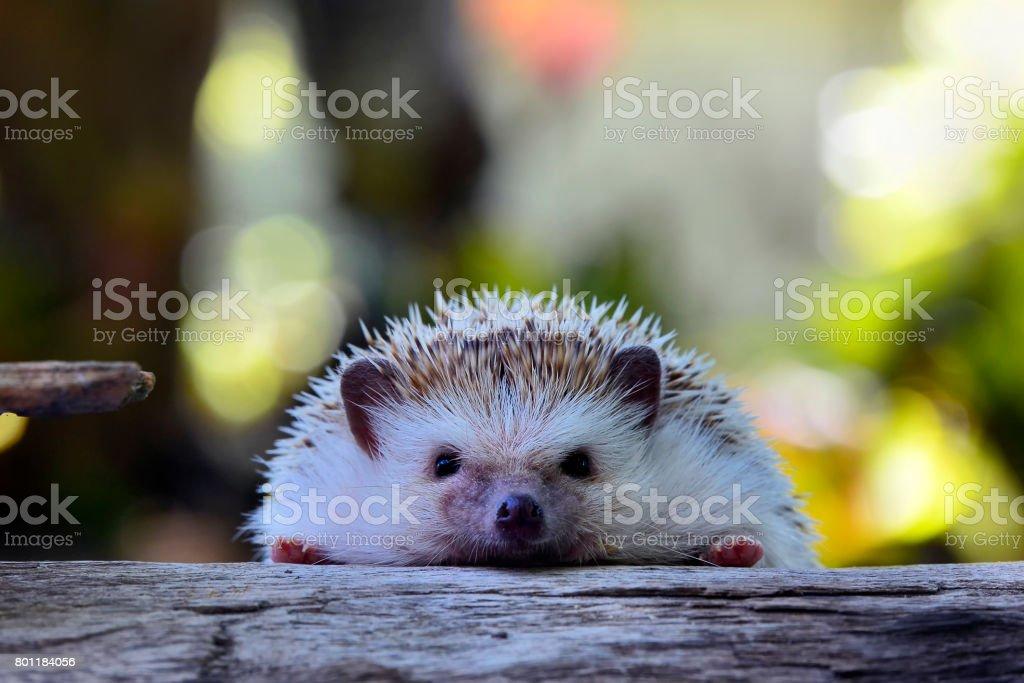 Young hedgehog in natural habitat ,Hedgehog  bokeh  background stock photo