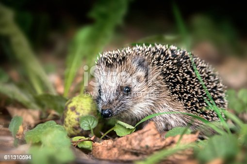 istock young hedgehog (Erinaceus europaeus) in the autumn forest 611310594