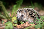 young hedgehog (Erinaceus europaeus) in the autumn forest