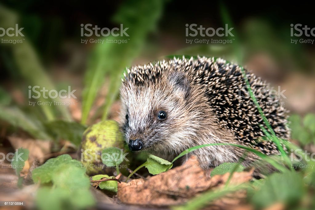 young hedgehog (Erinaceus europaeus) in the autumn forest stock photo