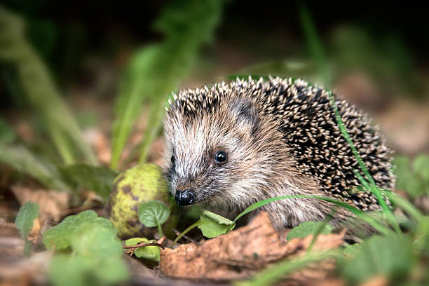 young hedgehog (Erinaceus europaeus) in the autumn forest - Photo