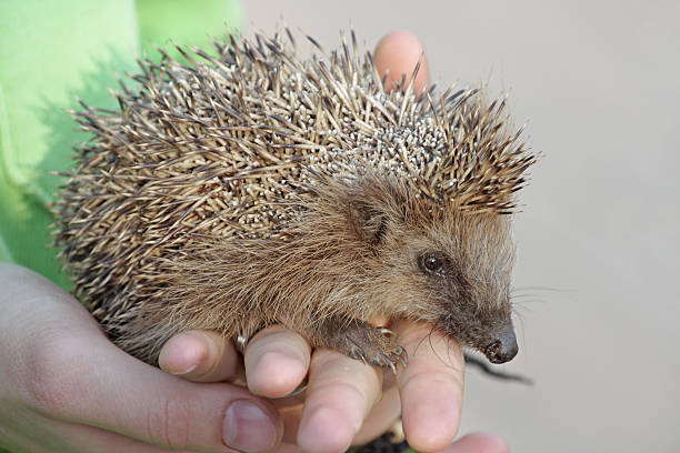 Young hedgehog in the human hands European hedgehog (Erinaceus europaeus) bristle animal part stock pictures, royalty-free photos & images