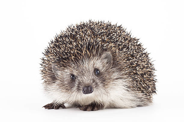young hedgehog isolated background - Photo