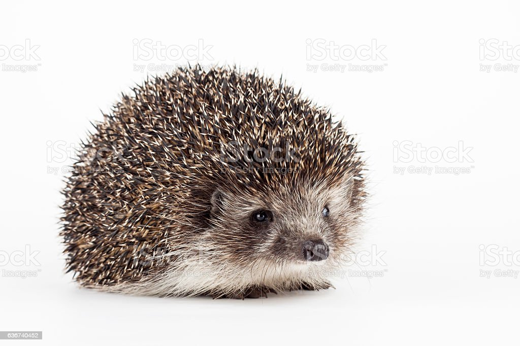 young hedgehog isolated background stock photo
