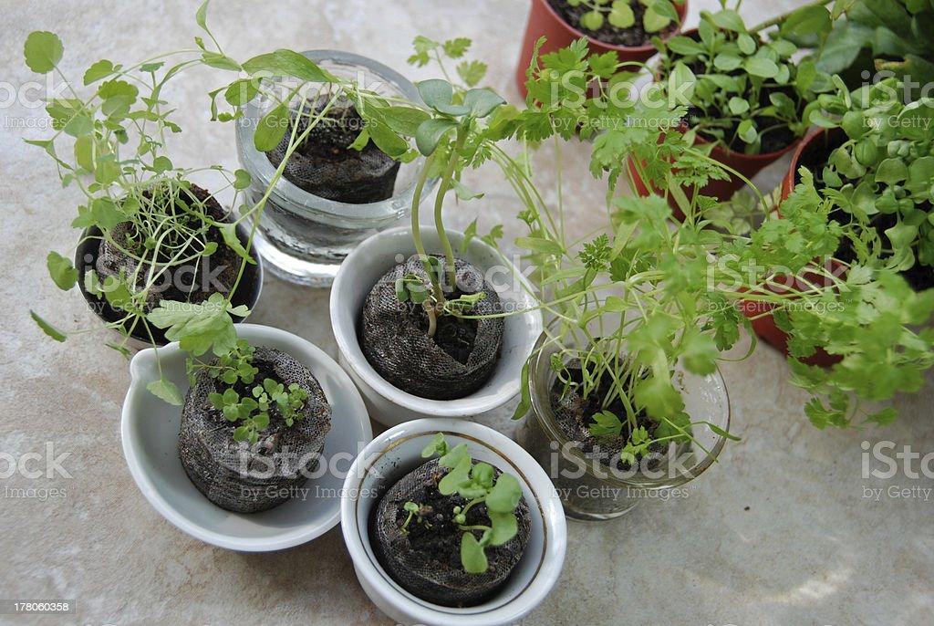Young herbs on balcony shelf royalty-free stock photo