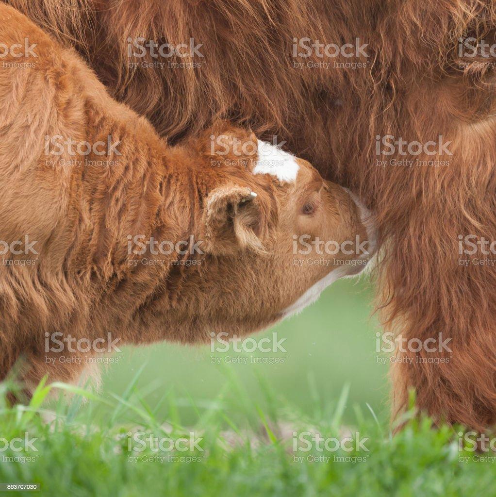 young highland cow calf feeding stock photo