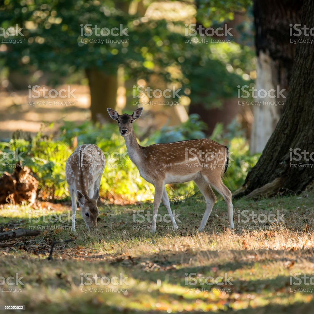 Young hind doe red deer in Autumn Fall forest image royalty-free stock photo