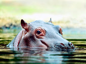 Close-up of a group of Hippos resting in a river in Kenya.