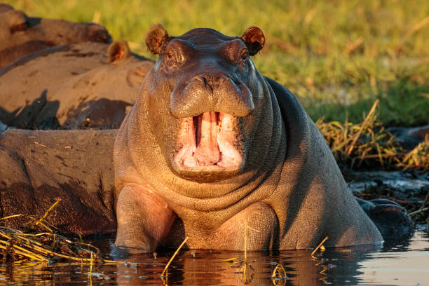 Young Hippo showing off on the Chobe River, Botswana, Africa stock photo