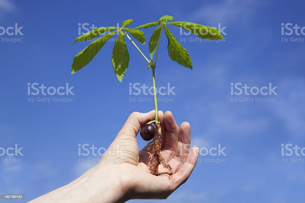 Young Horse Chestnut Sapling - Royalty-free Blue Stock Photo