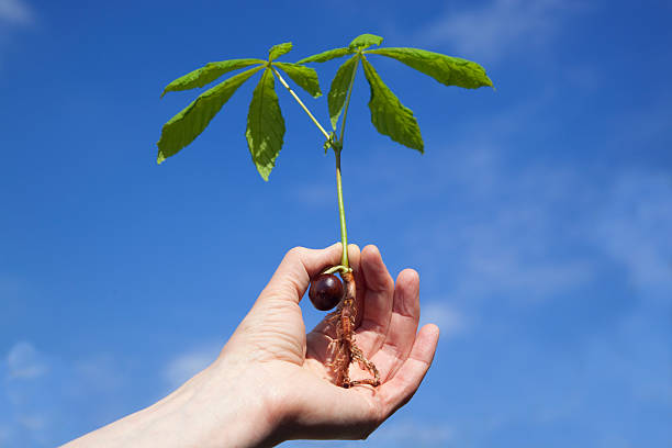 Young Horse Chestnut Sapling stock photo
