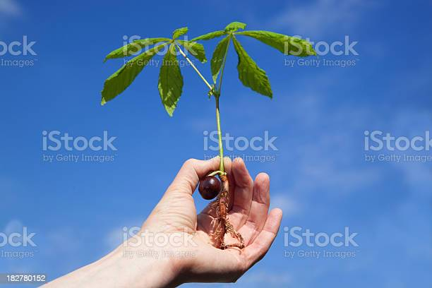 Young Horse Chestnut Sapling Stock Photo - Download Image Now