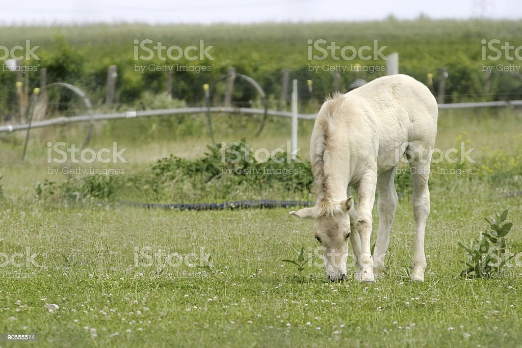 Young Horse Colt Grazing Pasture stock photo