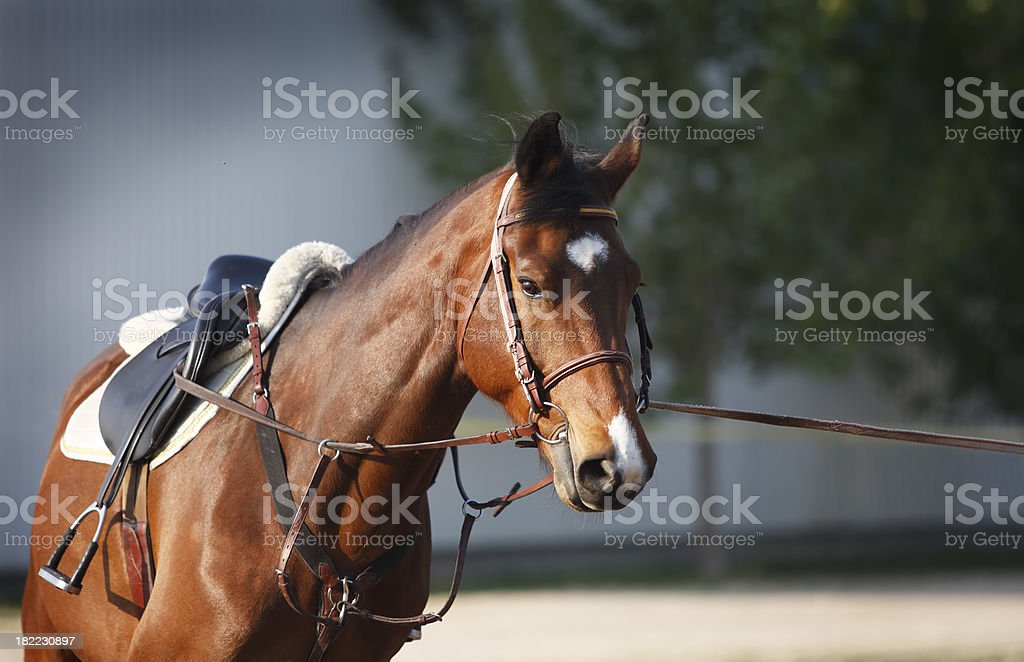 Young horse on lunge royalty-free stock photo