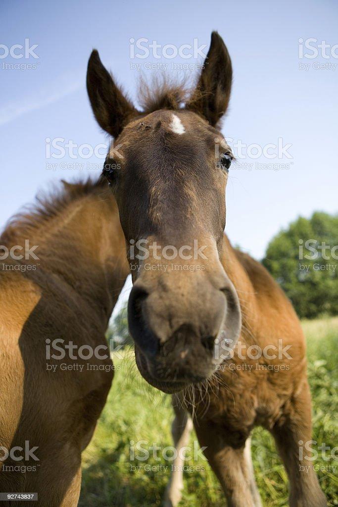 Junges Pferd Lizenzfreies stock-foto