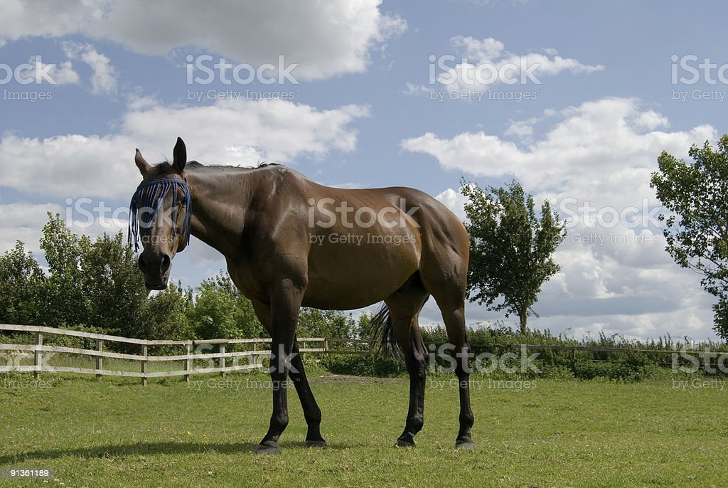 Young horse with fly flick royalty-free stock photo