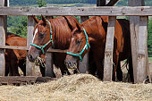 Purebred young mare and foal eating dry hay at animal farm