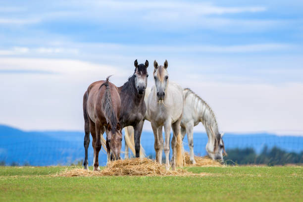 Young horses eating hay on pasture in summer Group of young horses eating hay on pasture in summertime hay stock pictures, royalty-free photos & images