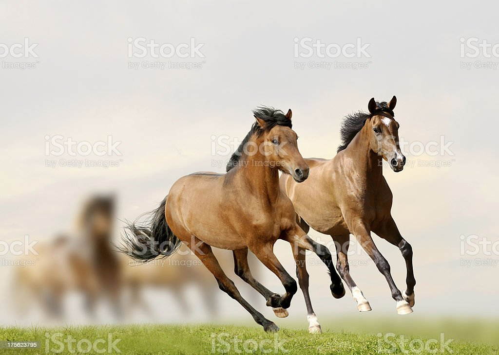 Young horses running with herd