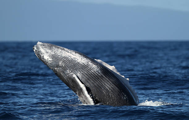Young Humpback Breach stock photo