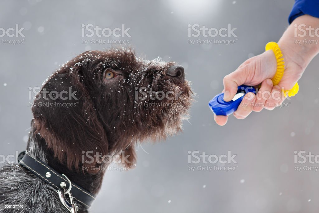 young hunting dog and hand with clicker stock photo