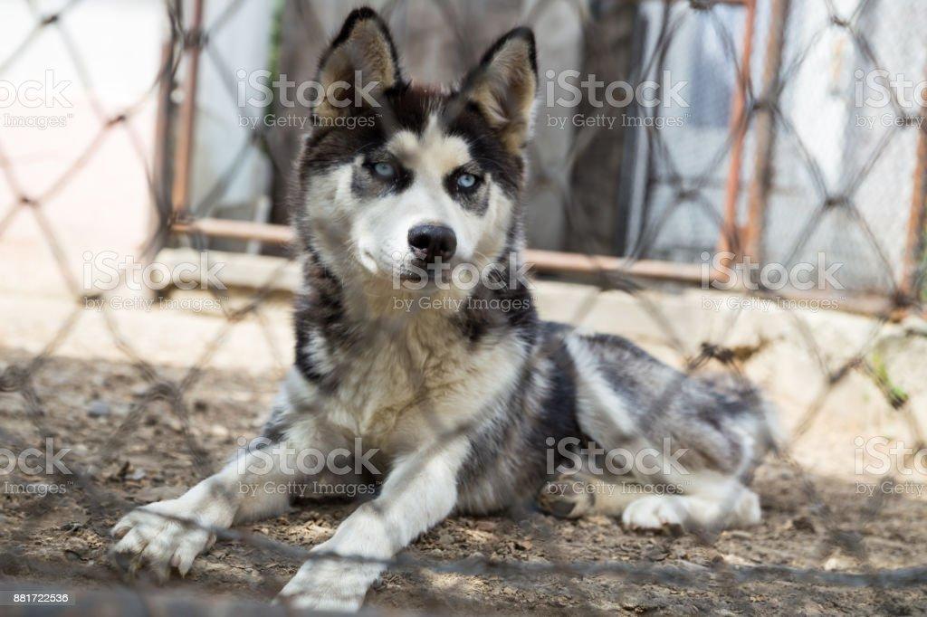 Husky Junghund – Foto