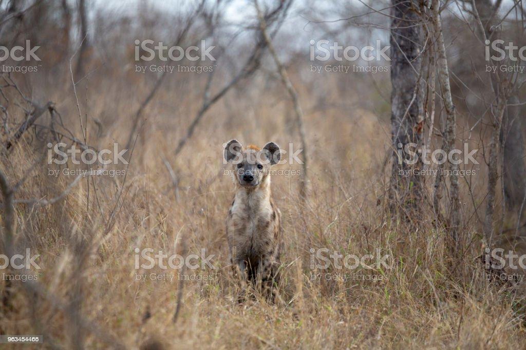 Genç hyaena - Royalty-free Doğa Stok görsel