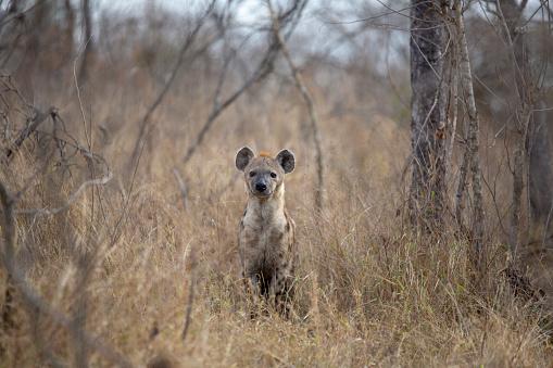 Genç Hyaena Stok Fotoğraflar & Doğa'nin Daha Fazla Resimleri