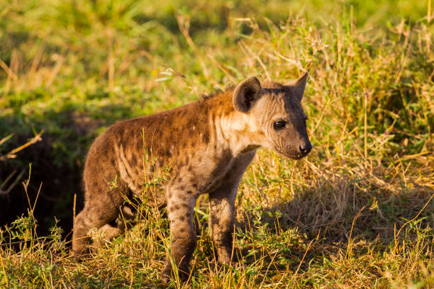 Young Hyena stock photo