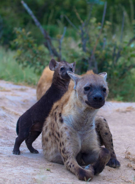 Young hyenas playing and fighting stock photo