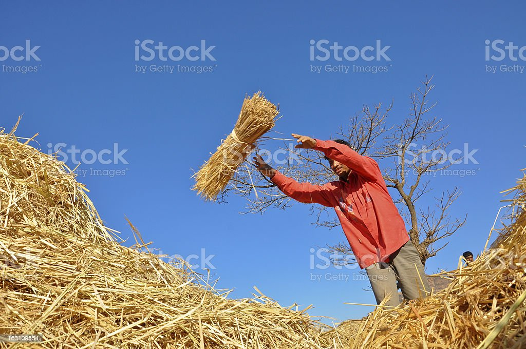Young Indian Rural boy throwing hay royalty-free stock photo