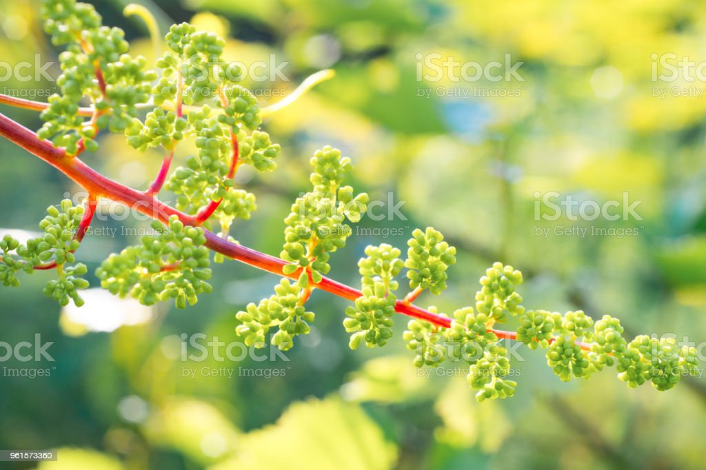 Young inflorescence of grapes on the vine closeup. Grape with young leaves and buds blooming in the vineyard. Spring buds sprouting stock photo