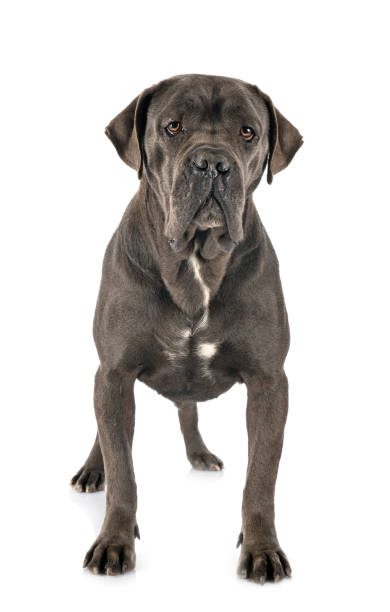 young italian mastiff female  italian mastiff in front of white background cane corso stock pictures, royalty-free photos & images