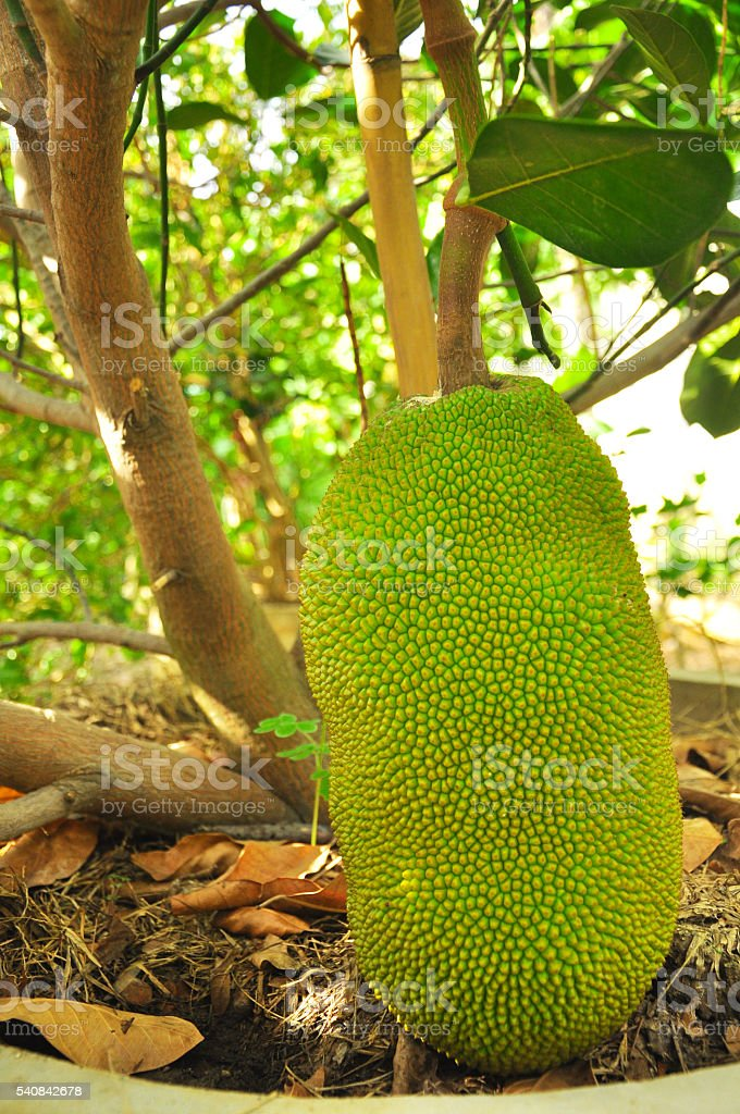 Young Jack fruit haning on tree, Thailand stock photo