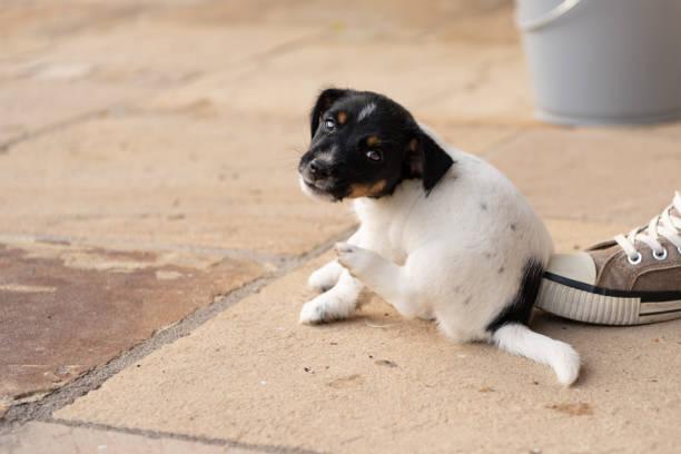 Junge Jack Russell Terrier Welpe Hund 7,5 Wochen alt.  Mit der Pfote ist der Hund kratzen – Foto