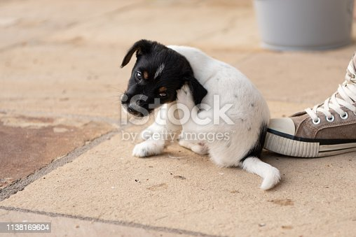 Young Jack Russell Terrier puppy 7,5 weeks old.  Cute small little doggy.  With the paw, the dog is scratching