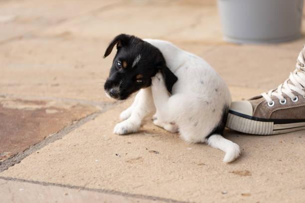 Young Jack Russell Terrier Welpen Hund 7,5 Wochen alt.  Mit der Pfote kratzt der Hund – Foto