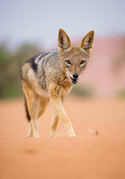O Crescimento da Girafa Young-jackal-walking-on-red-sand-picture-id519129328?k=6&m=519129328&s=612x612&w=0&h=--DvNEgffXKyE3nWAjWfw8sZyRwzqVdeqxxL9DHztKw=
