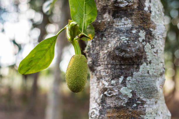 Young jackfruit growing on tree. Concept of hope and rebirth or stock photo