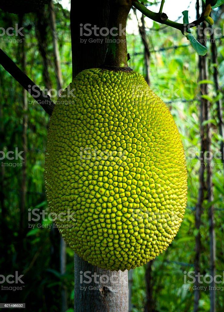 Young Jackfruit in Thailand photo libre de droits