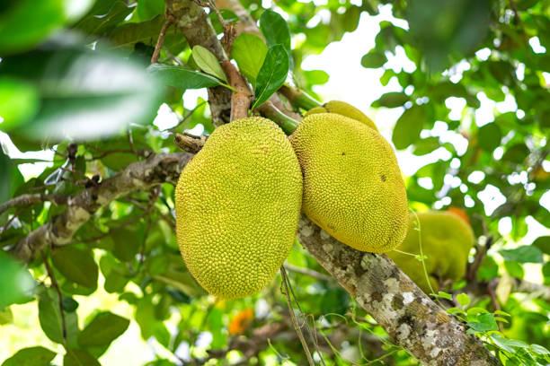junge jackfrüchte auf dem baum von der plantage. lokalen asiatischen frucht hat guten geruch und süßen geschmack, tiefenschärfe und der hintergrund jedoch unscharf. - jackfrucht stock-fotos und bilder