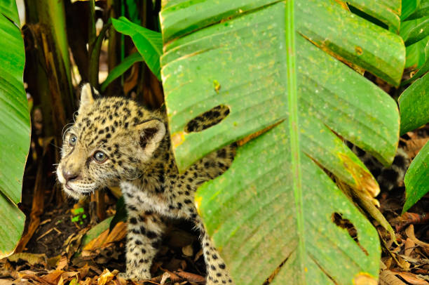 Young jaguar in the amazon jungle stock photo