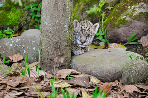 A young jaguar stock photo