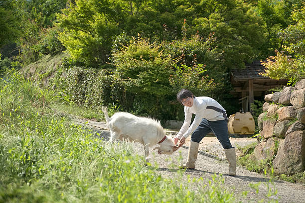 young japanese farmer playing with goat at side of road - sanft und sorgfältig stock-fotos und bilder